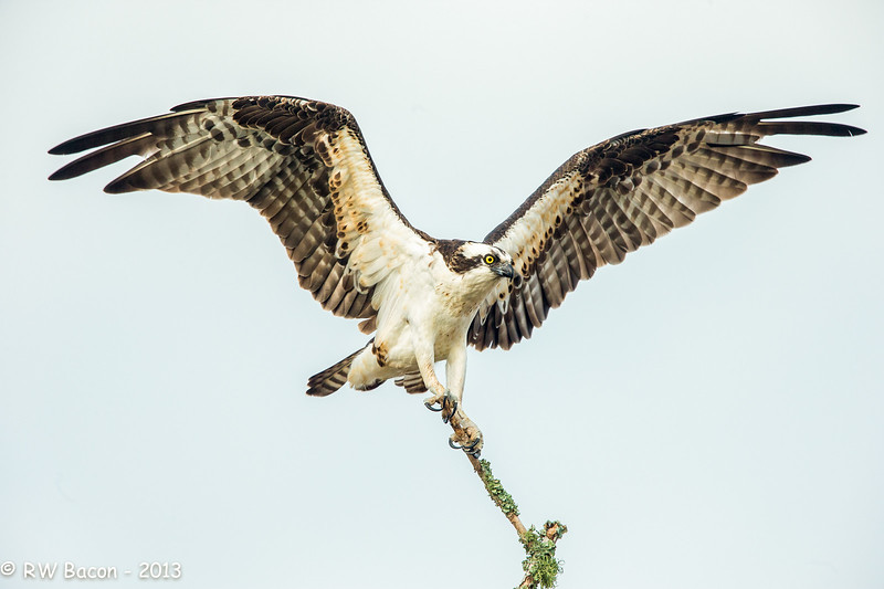 Magnificent Osprey