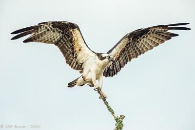 Magnificent Osprey