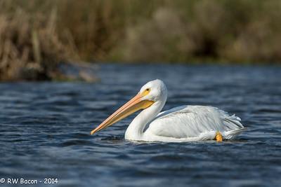 White Pelican Horsepen Bayou