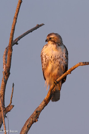 Red Tail Hawk San Bernard NWR Lake Jackson, TX
