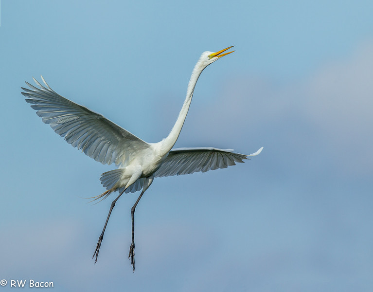 Great Egret Ascending Smith Woods Rookery High Island, TX