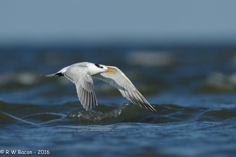 Royal Tern Fast and Low