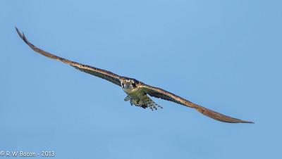 Osprey Eye-to-Eye