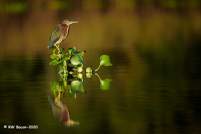 Green Heron on River Snag