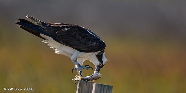 Osprey Mealtime