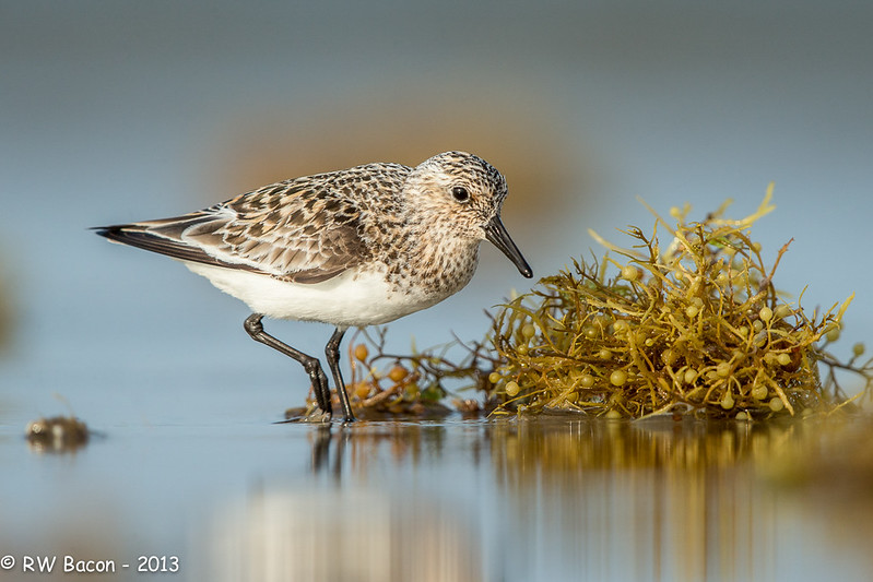 Sanderling and Sargassum