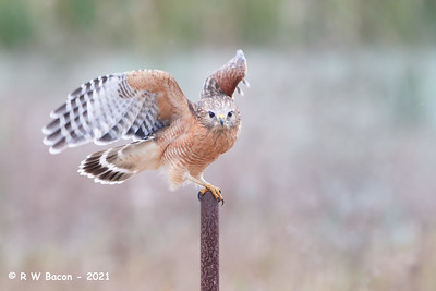 Red-shouldered Hawk Pre-flight