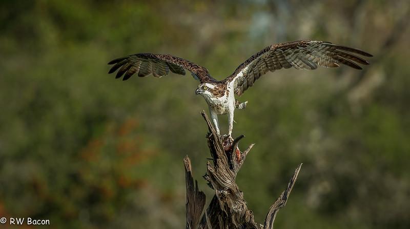 Osprey on a Snag
