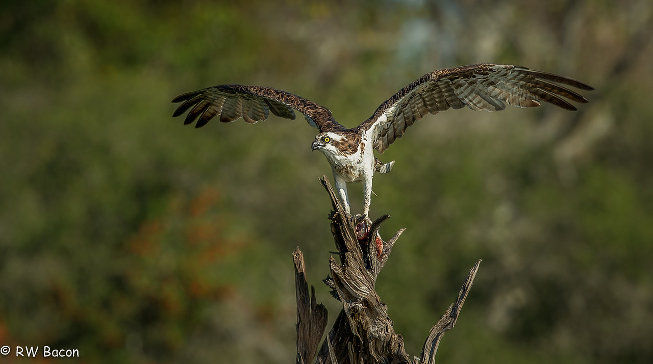 Osprey on a Snag