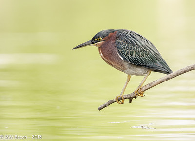 Shady Green Heron