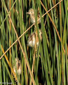 Three Least Bittern Chicks Taken from Kayak Armand bayou / Horsepen Bayou Houston, TX