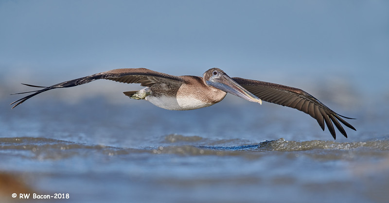 Young Pelican Skimming the Waves