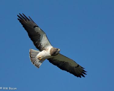 Swainson's Hawk Katy Prairie Katy, TX