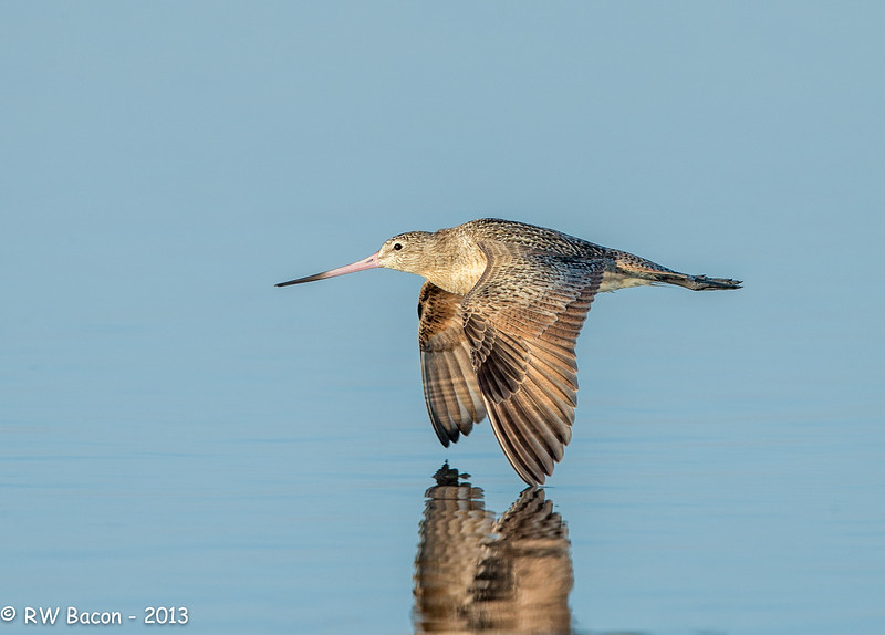 Marbled Godwit in Flight-2