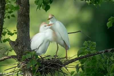 Cattle Egret Couple