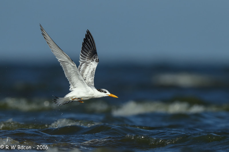 Royal Tern Blast Off