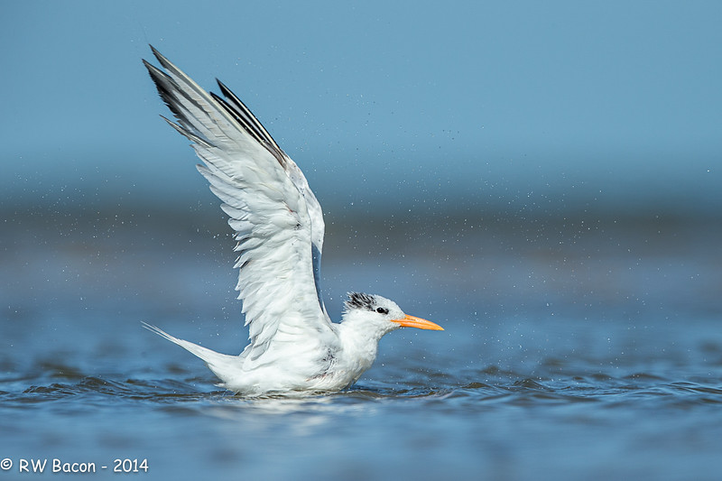 Bathing Royal Tern