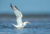Bathing Royal Tern