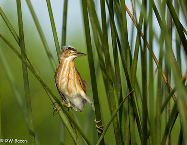 Least Bittern Juvie Taken from Kayak Armand Bayou / Horsepen Bayou Houston, TX