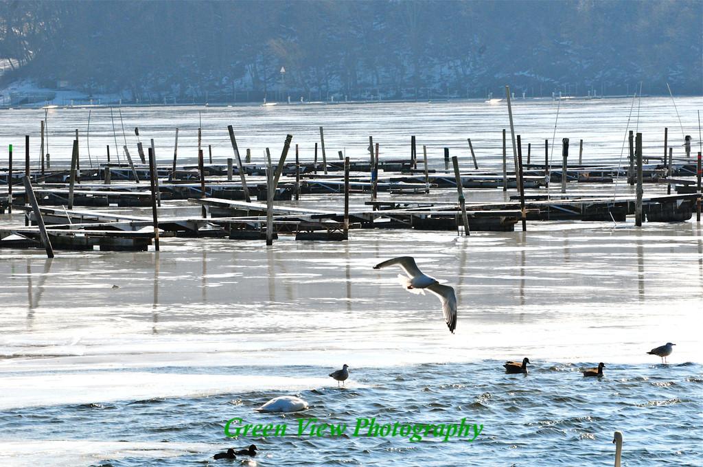 Flying Seagull - Irondequoit Bay
