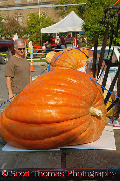 A man checks out one of the giant pumpkins in the Largest Pumpkin Weigh-Off contest at the Great Cortland Pumpkinfest in Cortland, New York.