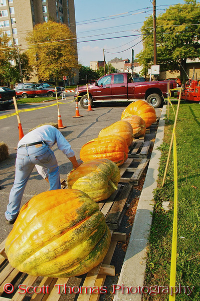 Pumpkins being tagged in preparation for the Largest Pumpkin Weigh-Off contest at the Great Cortland Pumpkinfest in Cortland, New York.