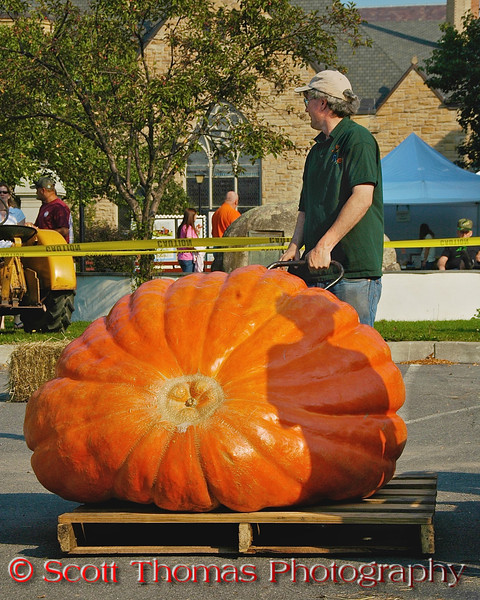 A volunteer moves one of the giant pumpkins for the Largest Pumpkin Weigh-Off contest at the Great Cortland Pumpkinfest in Cortland, New York.