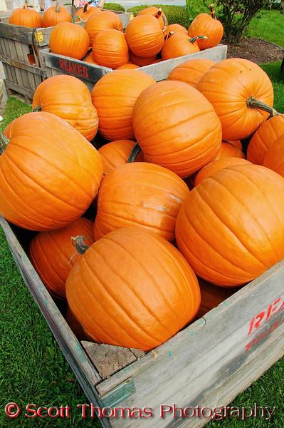 Wood crates full of orange pumpkins at the Great Cortland Pumpkinfest in Cortland, New York.