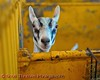 A goat looks out from a pen in the Goat, Llama and Swine Barn at the Great New York State Fair in Syracuse, New York.