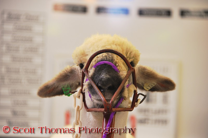 Sheep harassed up in preparation of getting sheered at The Great New York State Fair in Syracuse, New York.