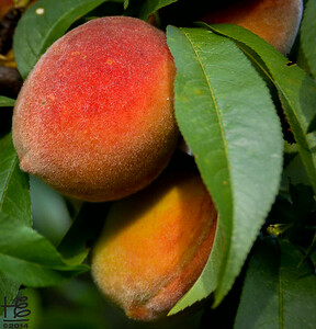06-20-14 The peaches on W. Westly hanging over the sidewalk are ripe and delicious!
