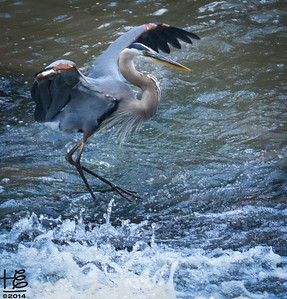 06-14-14 The mighty blue heron returns to his hunting perch within the rapids after enjoying a catch.
