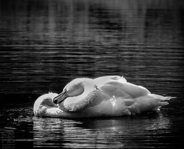 Swan grooming