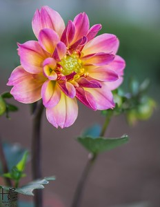 Full-bloom dahlia
