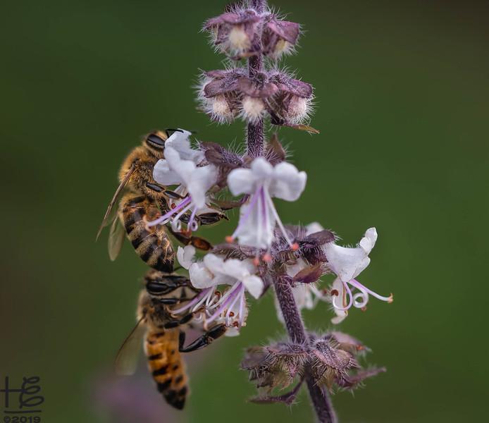 Honey bee duet