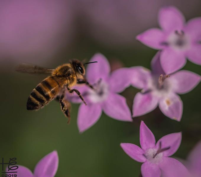 In-flight honey bee
