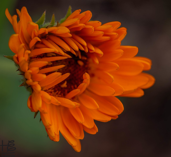 Blooming bud