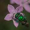 Green mason bee
