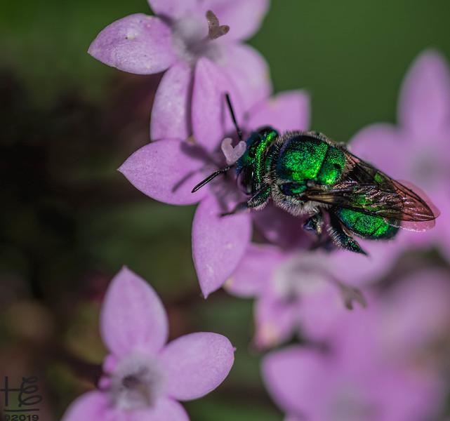 Sweet green sweat bee