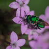 Sweet green sweat bee
