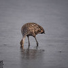 Limpkin in the rain