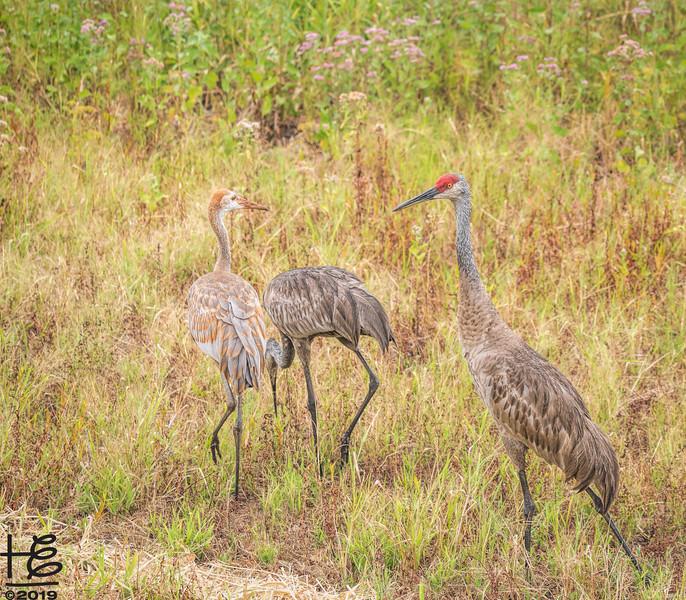 Sand hill crane family