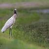 Lone wood stork