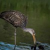 Limpkin feasting on mussels