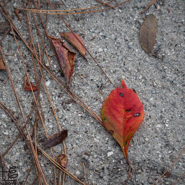 Solo red leaf