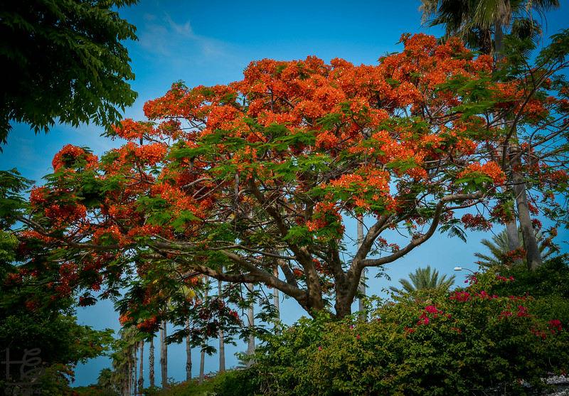 Magnificent royal poinciana