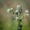 Thistle buds