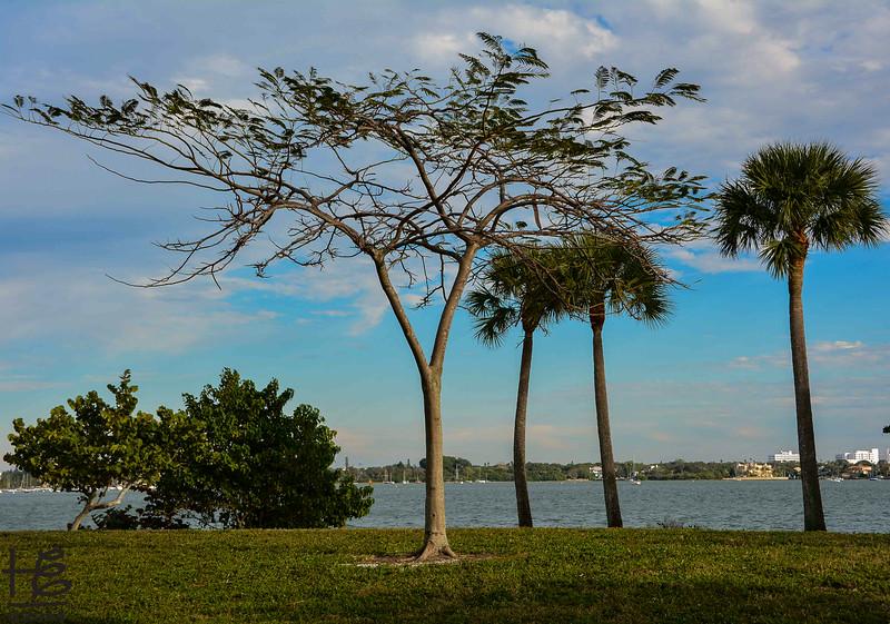 tree on SRQ Bay park