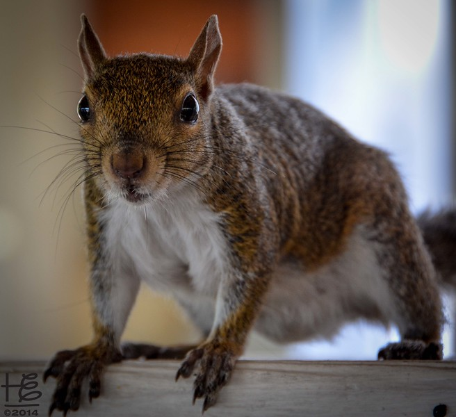 direct look from squirrel