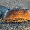 Dead horseshoe crab